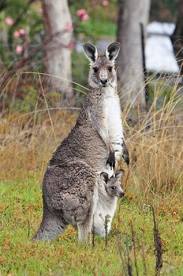 20110125100321-400px-kangaroo-and-joey03.jpg